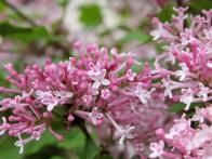 Discover a reblooming dwarf lilac with fragrant pink blooms in 'Scent and Sensibility' pink lilac. This shrub flowers strongest in spring and offers scattered rebloom in summer and fall. Plants form flowers on new wood, so wait to trim these lilacs until immediately after spring bloom. Plants are hardy in Zones 3 to 7 and grow 2 to 3 feet tall and 4 to 6 feet wide—the perfect size for a dwarf flowering hedge.