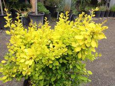 Berberis Thunbergii 'Aurea Nana' - beautiful golden new growth! Gazebo, Patio Plants, New Growth, Trees And Shrubs, Evergreen, Planting, Burgundy, Mary, Beautiful