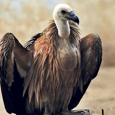 The White-rumped Vulture had been abundant in India but is now endangered. The greatest threat comes from farmers' use of the anti-inflammatory drug diclofenac to treat their livestock. This causes renal failure in vultures that feed on cattle carcasses.