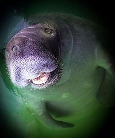 """Happy Manatee by Karen Wiles Congratulations on being featured in the Fine Art America Group """"Images That Excite You!""""Congratulations on being featured in the Fine Art America Group """"Images That Excite You! Beautiful Creatures, Animals Beautiful, Cute Animals, Underwater Creatures, Ocean Creatures, Sea Cow, Mundo Animal, Tier Fotos, Jolie Photo"""