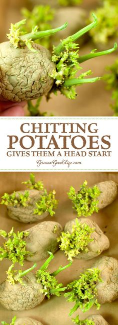Chitting it is a way of preparing potatoes for planting by encouraging them to sprout before planting in the ground. This gives the tubers a head start and encourages faster growth and heavier crops once the seed potatoes are planted.