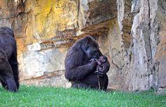 Bebé gorila recién nacido en BIOPARC Valencia (#ExperienciasBioparc)