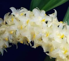 eria sp | Eria sp | Here are some kinds of Indonesian Orchid | Pinterest