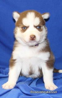 Red Siberian Husky puppy