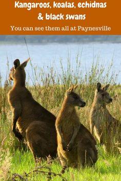 Kangaroos, koalas, echidnas and black swans - see them all at Paynesville, Victoria Australia Kangaroo, Australia Animals, Victoria Australia, Wanderlust Travel, Romantic Travel, Australia Travel, Travel Around The World, Adventure Travel, Travel Inspiration