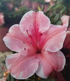 azaleas landscaping * azaleas + azaleas landscaping + azaleas landscaping front yards + azaleas care + azaleas landscaping backyards + azaleas in pots + azaleas landscaping curb appeal + azaleas and hydrangeas together Beautiful Rose Flowers, Big Flowers, Flowers Nature, My Flower, Cactus Flower, Exotic Flowers, Purple Flowers, Flowers Perennials, Planting Flowers