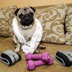 I hate going to the gym but I need to pump up my muscles before asking my girl for a date tomorrow #mauricethepug #gym #pumpedup #valentinesday #date #mygirl #inlove #motivated #exercise #healthy #workout #pug #mops #dog #puppy