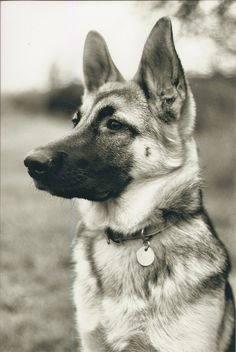 A beautiful portrait of a beautiful German shepherd. Her name is Io and she lives in Oregon. Photo by Rebecca Boyd.