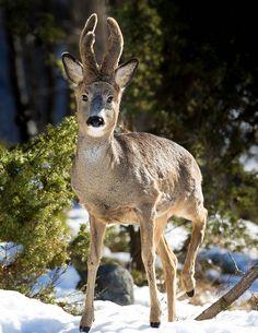 The Roe Deer II