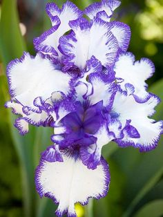 Iris-best in smell -Bearded irises grace spring garden with color and perfume. Available in almost every color of the rainbow, irises also have a range of fragrances, from anise to floral to fruity