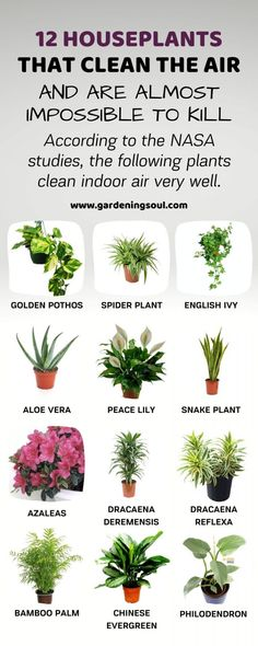 12 Houseplants That Clean The Air And Are Almost Impossible To Kill : 12 Housep. 12 Houseplants Th Inside Plants, Cool Plants, Potted Plants, House Plants Decor, Plant Decor, Begonia, Airplane Plant, Garden Snakes, Best Indoor Plants