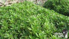 """צחה צוריתית Aeonium sedifolium משפחה:משפחת הטבוריתיים - Crassulaceae מוצא:האיים הקנריים, טנריף גובה:40-20 ס""""מ מרווחי שתילה:40 ס""""מ תאור צמח:סוקולנט, כריתי"""