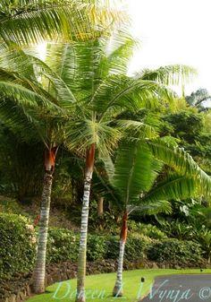 Dypsis Leptocheilos red neck palm