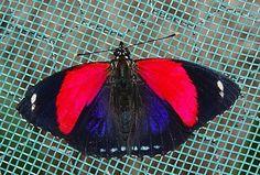 Pygas Eighty-eight (Callicore pygas cyllene thymaras) Types Of Butterflies, Beautiful Butterflies, Beautiful Birds, Ladybugs, Spiders, Caterpillar, Banners, Shelter, Sailor
