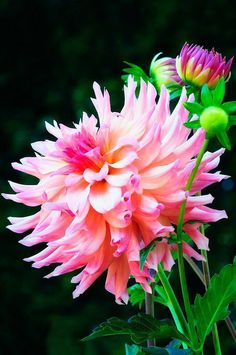 Shade Garden Flowers And Decor Ideas Beautiful Dahlia Most Beautiful Flowers, Exotic Flowers, Pretty Flowers, Beautiful Gardens, Pink Flowers, Beautiful Gorgeous, Black Flowers, Yellow Roses, Pink Roses