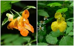 Jewelweed flowers