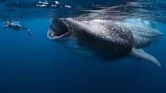 whale shark... totally freaky and benign, unless of course he whacks you with his tale...