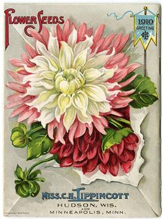 """Flowers burst through a white mailing envelope on the back cover of Carrie Lippincott's 1910 catalog.  Carrie Lippincott, the self-proclaimed """"pioneer seedswoman"""" and """"first woman in the flower seed industry"""" established her mail-order flower seed business in Minneapolis in 1891."""