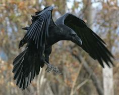Resultado de imagen para Corvus