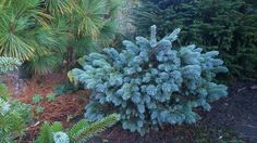 Picea engelmannii 'Cienega'
