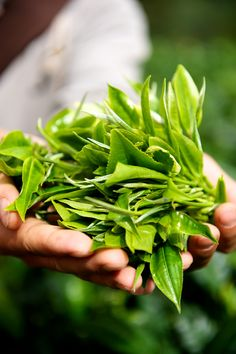 Delicious tea, harvested by hand in Yunnan China!