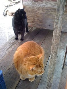 Black and Orange mixed cats. Just like mine!|book barn cats by eggmergency, via Flickr