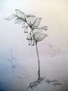 Polygonatum latifolium botanical drawing by Gábor Emese Hungarian artist. www.gaboremese.hu
