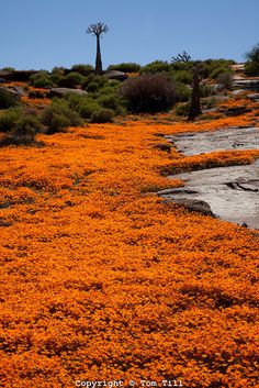 Namaqualand wildflowers, Namaqualand, South Africa a One of the world's largest wildflower blooms Dimropotheca sp. Quiver trees Aloe dichotoma