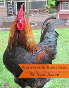 Veterinary Care for Backyard Chickens, a Dialogue that Must Begin. ~The Chicken Chick