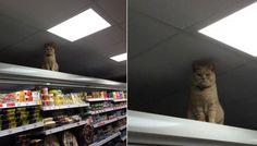 Вести.Ru: Хмурый кот, любящий ходить в кафе и магазин, покоряет Интернет