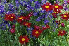 5 Daisy Types for the Flower Garden: Painted Daisy
