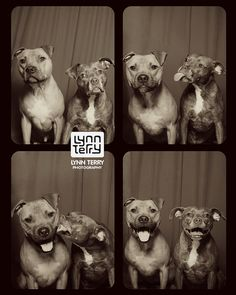 2 Pit Bulls Went Into A Photo Booth, Emerged As Stars Who Broke Down Breed Stereotypes