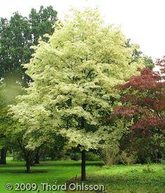 Acer platanoides 'Drummondii' Acer, Garden Trees, Garden Plants, Planting Plan, Coastal Gardens, Landscaping Plants, Autumn Trees, Hedges, Horticulture