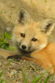 Puppy dog eyes..awwww (actually itz a Fox)