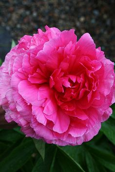 "~Peony ""Rose Hearth by Pia´s Garden, via Flickr"