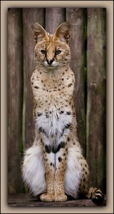 A Serval Leptailurus Serval Shows Off Its Slim Lines In This