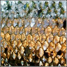 golden fish scales | God-or-Nature | Pinterest