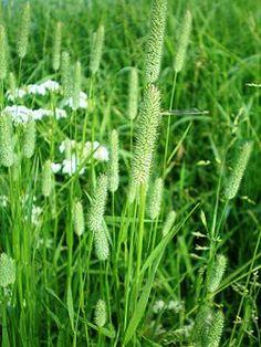 Heimo Poaceae, heinäkasvit Phleum pratense, TIMOTEI Tuntomerkit: jäykkä, tyvestä paksuuntunut korsi. Lehtilapa jopa 40 cm pitkä ja kapea. Kukinto on lieriömäinen, tiheä tähkä, joka on väriltään vihreä tai heikosti sinipunainen.