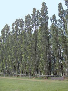 Fil:Populus nigra.Italica.01.jpg