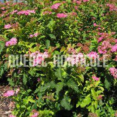 image de Spiraea japonica Crispa Photos, Herbs, Image, Gardens, Note Cards, Plant, Home, Pictures, Photographs