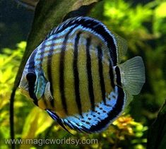 Discus fish has been my favorite type of aquarium fish since I ve seen them for the first time. You need to spend time and money if you want to maintain a Discus fish aquarium at home. Discus Aquarium, Discus Fish, Freshwater Aquarium Fish, Big Aquarium, Underwater Creatures, Ocean Creatures, Colorful Fish, Tropical Fish, Life Under The Sea