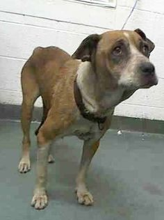 PLEASE DON'T FORGET THIS POOR SAD AND SICK FRIEND!!! 10/27 STILL THERE!!! LAST CALL --- KIA is ver weak and moved to medical section KIA (A1728942) I am a female tan and white Boxer mix.  The shelter staff think I am about 5 years old.  I was found as a stray and I may be available for adoption on 10/06/2015. Miami Dade https://www.facebook.com/urgentdogsofmiami/photos/pb.191859757515102.-2207520000.1443671426./1054739757893760/?type=3&theater