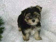 Ali's page of Morkie's: how to train and care for your morkie