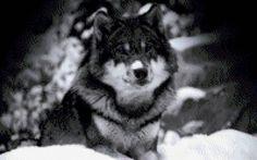 """Le régime broderie """"Wolf"""" - Plans auteur «WhiteWinter» - Point de Croix"""
