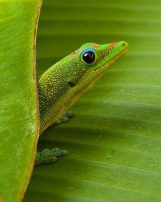 A  Gecko ~ On A Banana Leaf. (Photo By: Charlie VanTassel.)