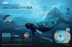 Narwhal Whales, Unicorns of the Sea