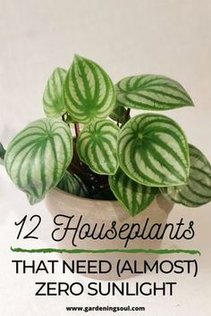 Here are 12 best houseplants that need zero sunlight for healthy growth. Here are 12 best houseplants that need zero sunlight for healthy growth.