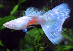 albino Lazuli guppy