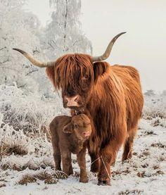 Elliot ( 10 days old) with his Mum. - - Franzi Kolp - Elliot ( 10 days old) with his Mum. - Elliot ( 10 days old) with his Mum. Cute Baby Cow, Baby Cows, Cute Cows, Cute Baby Animals, Farm Animals, Animals And Pets, Highland Cow Art, Scottish Highland Cow, Highland Cattle