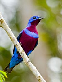 Blue Banded Cotinga, south eastern Brazil, endangered